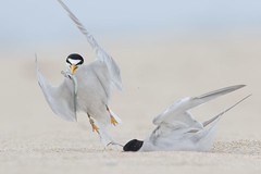 Too Slow! (bmse) Tags: california beach canon sand huntington breeding souther mating l ritual f56 least takeoff tern salah 400mm wingsinmotion 7d2 bmse baazizi