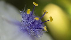 wet flowerke (Niek Goossen) Tags: flower wet yellow purple nat bloem