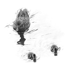 Ducklings, Robson Park, Surrey, BC (ScarletBlack) Tags: monochrome ducks ducklings robsonpark