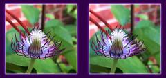 Clematis Flower Bud 1 - Parallel 3D (DarkOnus) Tags: flower macro closeup stereogram 3d phone pennsylvania clematis cell stereo bloom bud parallel stereography buckscounty huawei mate8 darkonus