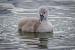 So Lovable (happymillerman) Tags: swans cygnets