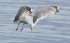 The moment (Arnt Kvinnesland) Tags: juni sommer seagull gull moment sj herringgull kyst mker karmsundet sjfugler kystfugler