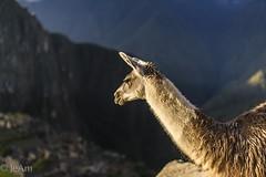 ¡Todos admiran Machu Pichu! (Acuario01) Tags: travel peru 50mm cusco llama machupichu viajes maravilla