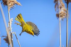 DSC_0206 (romain-dreux-photo) Tags: canada bird nature flying quebec americanyellowwarbler setophagapetechia
