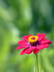 Red Zinnia (Johnnie Shene Photography(Thanks, 1Million+ Views)) Tags: wild flower macro nature floral beautiful vertical canon lens wonder photography one dc spring flora day natural outdoor wildlife fulllength tranquility nopeople korea depthoffield korean single daisy zinnia awe chrysanthemum freshness lighteffect tranquilscene floweringplant  zinniaelegans  fragility  colourimage sigma1770mm f284 redzinnia foregroundfocus livingorganism    eos600d rebelt3i kissx5