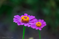 Exquisite (Gabriel FW Koch) Tags: awesome beauty beautiful pretty closeup macro bokeh green pink purple blue red yellow orange garden outside canon eos dof telephoto