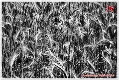 Variations sur les bls 04 (voyageursdumonde1) Tags: nature fleurs bl crales salaisesursanne france2016