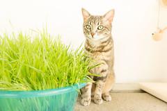 fuku after a healthy grass meal (kipuna) Tags: kissa ruoho cat kitty balcony grass tabby