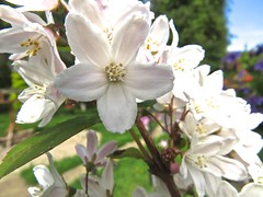 1424 Deutzia flowers (Andy panomaniacanonymous) Tags: 20160527 aaa ddd deutzia fff flowers gardenflower ggg white www
