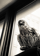 Hawk(ward) (Astroredg) Tags: bw nb sepia cream creamtone noiretblanc blackandwhite hawk aigle redpath redpathmuseum muse museum stuffed empaill taxidermie taxidermy window fentre contrastes contrasts hanging suspendu bird oiseau birdofprey photographia faucon