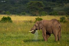 African Elephant drinking (V I J U) Tags: africa travel wild elephant nature water kenya wildlife drinking safari ke mammals africanelephant masaimara 2016 narok canon5dmarkiii ef500mmf4lisii vijujose