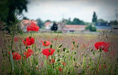 2016-07-03poppy field (21)f (april-mo) Tags: poppy coquelicot field champ country countrylife countryside wildflowers red rouge redflower redandgreen nord france somain