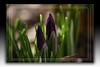 Krokus (Pinky0173 (thrun-fotografie.de)) Tags: flowers red macro yellow canon wow germany deutschland natur blumen usm bunt wow2 wow3 eos5d ef100mm rotgelb mygearandme blinkagain dblringexcellence pinky0173 flickrstruereflection1