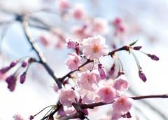 cherry blossoms (sabrandt) Tags: pink flowers tree garden cherry japanese japanesegarden illinois spring blossom plum arboretum universityofillinois uiuc cherryblossom urbana sakura plumblossom blooming japanhouse sal50f14
