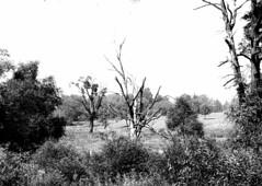 19 dead trees, Trenton, NJ 1912 (rich701) Tags: blackandwhite bw glass vintage newjersey nj negative 1912 mercercounty trenton opdyke opdycke abrahamopdyketrentonphotographer