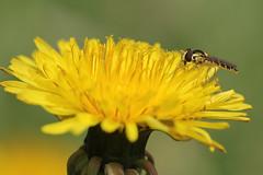 IMG_4960 Hoverfly (tobyjug5) Tags: macro london insect naturallight syrphidae gitzotripod tamron180mm