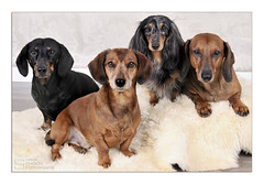 Wildbunch time....! (Buikschuivers) Tags: dachshunds qualitytime wildbunch studiolights forweinermobilesjoe iadoremypack