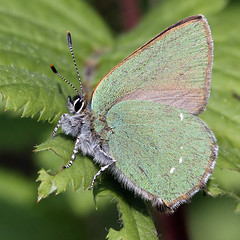 Green Hairstreak (Callophrys rubi) (Ger Bosma) Tags: macro closeup gettyimages 1415 greenhairstreak thegalaxy callophrysrubi groentje brombeerzipfelfalter argusvert cejialba thcledelaronce mygearandme mygearandmepremium mygearandmebronze mygearandmesilver mygearandmegold grnezipfelfalter dblringexcellence flickrstruereflection2 flickrstruereflection3 img42151filtered grienjurkje