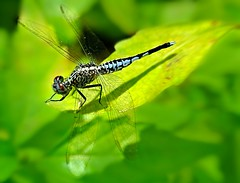 Nikon1 V1 Review take off with another Dragonfly (Kenny Teo (zoompict)) Tags: macro beautiful wonderful insect lens photography photo yahoo google singapore dragonfly getty zoompict kennyteo nikonv1v nikonv1vreview