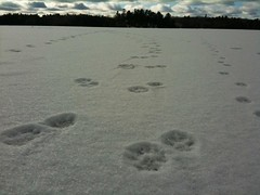 """wolves_on_gatineau_river_ice • <a style=""""font-size:0.8em;"""" href=""""http://www.flickr.com/photos/78554596@N08/7027779193/"""" target=""""_blank"""">View on Flickr</a>"""