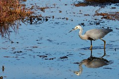 White faced heron (grantaustralia) Tags: white heron faced 100400