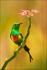 Beautiful Sunbird (hvhe1) Tags: africa bird nature colors animal bravo bright feeding wildlife gambia nectar songbird specanimal hvhe1 hennievanheerden avianexcellence beautifulsunbird cinnyrispulchella marakissarivercamp feeënhoningzuiger