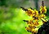 Painting the Town Yellow (Abhijit Chendvankar) Tags: park flowers india flower yellow gardens garden flora flickr maharashtra mumbai bharat poinciana gulmohar sanjaygandhinationalpark copperpod nikonflickraward