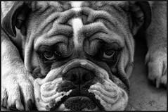 Barrington the English Bulldog---------------(Explore 4/27/12) (benchorizo) Tags: pets dogs blackwhite englishbulldog chicagoist banias d90 benchorizo