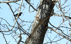 Northern Flickers (K Fletcher) Tags: canada calgary bird alberta northern flicker inglewood