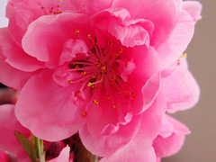 Pink Flower Blossom (shaire productions) Tags: pink flowers summer plants plant flower detail macro nature floral season cherry asian japanese petals spring asia natural image blossom seasonal blossoms grow peach petal growth bloom growing sprout imagery blooming
