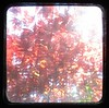 Day 123 02.05.12 (deboraborialis) Tags: tlr leaves garden scotland glasgow acer 365 redtree ttvf