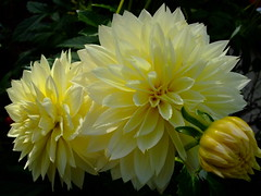 Dahlia (yewchan) Tags: dahlia flowers flower nature colors beautiful beauty closeup garden flora colours gardening vibrant blossoms blooms lovely dahlias mamasbloomers