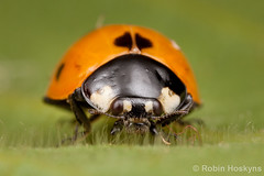Freshly Emerged - Darker Orange ([[BIOSPHERE]]) Tags: uk macro nature garden insect adult beetle ladybird ladybug emerging pupa larvae metamorphosis pupae hatching septempunctata coccinella eclosion mpe 7punctata 7spot