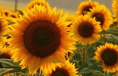 Little suns (Tsvetan Banev) Tags: sun sunflowers sunflower suns