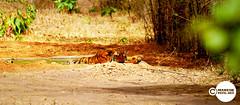 Tiger_Shivaji_01