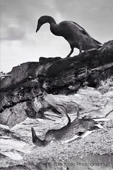 Flip the Bird (Lol™) Tags: ireland water monochrome duck wildlife northernireland streams warrenpoint blackwhitephotos flickrstruereflection1