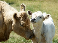 2012-07-01_Mother and Daughter (Mark Burr) Tags: cattle bull galloway coes brucecounty cowscalves