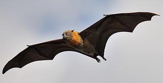Bats for Dummies - How to do a 2 sec U-turn. DSC_026110