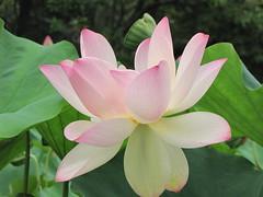 Kenilworth Aquatic Gardens (7) (SherryBerryVA) Tags: lotus watergardens kenilworthaquaticgardens indianlotus sacredlotus nelumbonucifera beanofindia washingtonwalks monotypicfamilynelumbonaceae
