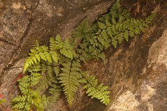 Brittle Bladder-fern, Cystoperis fragilis,  Winskill Stones, Settle, Yorkshire Dales    DSC_4120 (Cladoniophile) Tags: fern macro nature closeup wildlife vascular cryptogam filicales