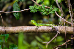 Green basilisk lizard (philippe julien) Tags: nature animal female costarica lizard lzard basilic basilisk basiliscusplumifrons plumedbasilisk