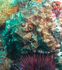 Octopus (Ed Bierman) Tags: scuba diving marinelife ncrd gaydiving