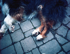 (Josh Sinn) Tags: dog color 120 film mediumformat fur md kodak shepherd australian maryland canine 100 paws 6x45 mtairy laying ektar bronicaetr joshsinn joshuasinn