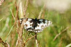 Marbled White (riggy-riggo) Tags: summer macro nature butterfly insect wildlife grassland marbledwhite