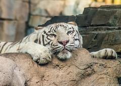 Busch Gardens II (Ricardo's Photography (Thanks to all the fans!!!)) Tags: desktop wallpaper tampa screensaver martha background tiger ricardo whitetiger buschgardens serrano mangual ricardomangual marthaserrano