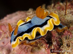 Anna's chromodoris (northwest diver) Tags: ocean sea canon scubadiving nudibranch invertebrates marinelife underwaterphotography chromodorisannae nudibranchia annaschromodoris