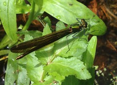 "Beautiful Demoiselle Damselfly Female • <a style=""font-size:0.8em;"" href=""http://www.flickr.com/photos/57024565@N00/7774609702/"" target=""_blank"">View on Flickr</a>"