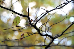 Leaves that are Green (likrwy) Tags: autumn tree fall leaves leaf branch surrey twig twigs