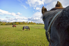 INQUISITIVE ONE (DESPITE STRAIGHT LINES) Tags: november autumn england horses horse green face field animal animals nikon comedy day cloudy horseface sigma wideangle eat curious horsehead nosey snout equine graze inquisitive sigma1020mm equines horsesinafield nikongps horsecoat horseinafield d7000 nikongp1gps nikond7000 ilobsterit