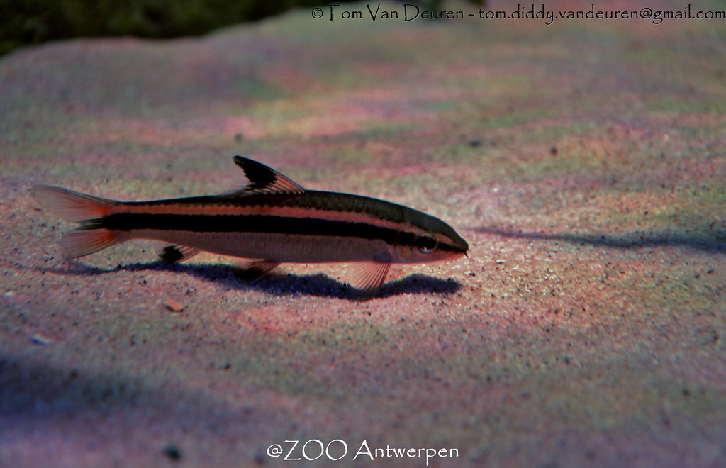 The world 39 s most recently posted photos of epalzeorhynchos for Flying fox fish